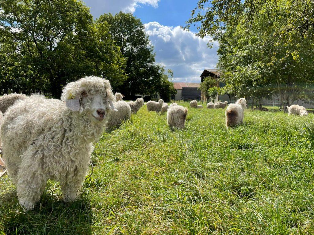 chèvres angora l'agriculturelle