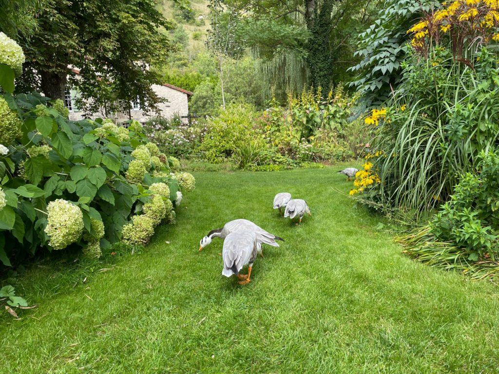 les canards des jardins de mon moulin